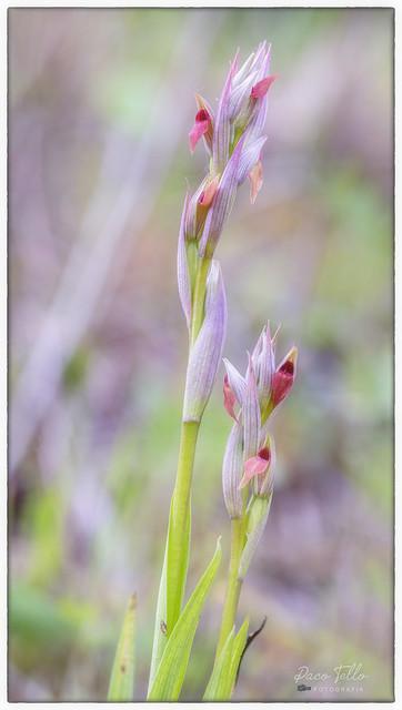 Orchis- Orquídeas