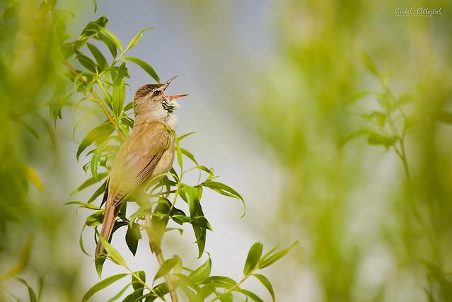 Great reed warbler, rákosník velký, CZE, 2021
