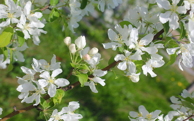 Russian Federation, Nature of Spring Moscow, Apple Trees  (Mаlus, Rosaceae) are blossoming in the park