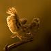 Holenuil / Burrowing owl / Chêveche de Terriers