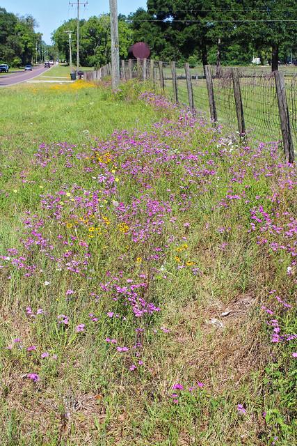 Roadside Wildflowers near Williston