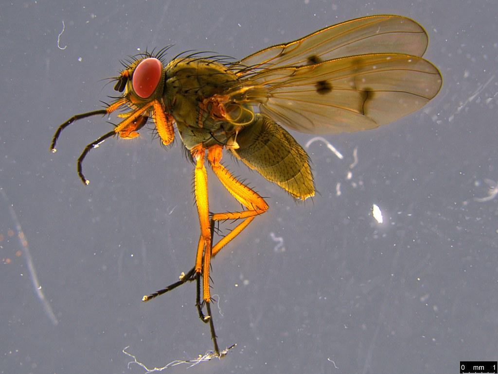10 - Diptera sp.