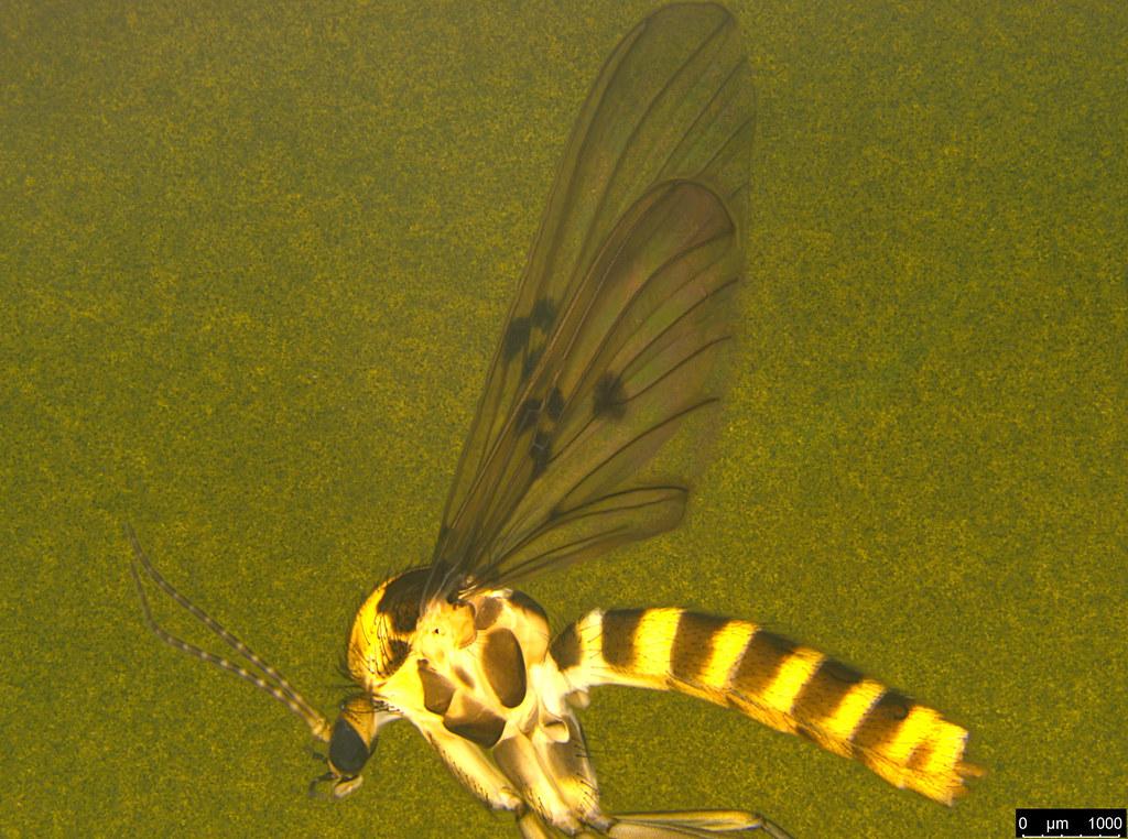 12b - Diptera sp.