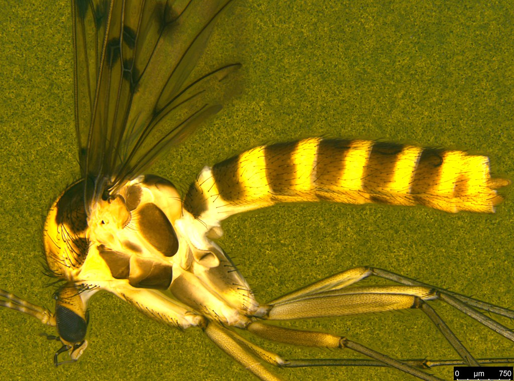 12c - Diptera sp.
