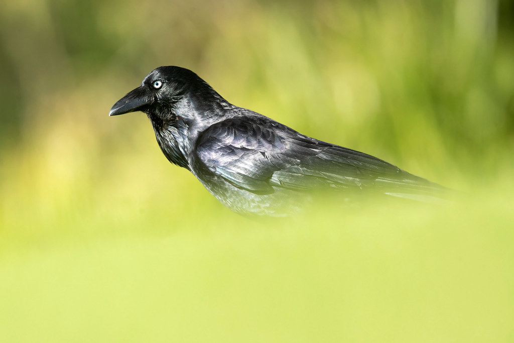 Australian Raven (Corvus coronoides coronoides)