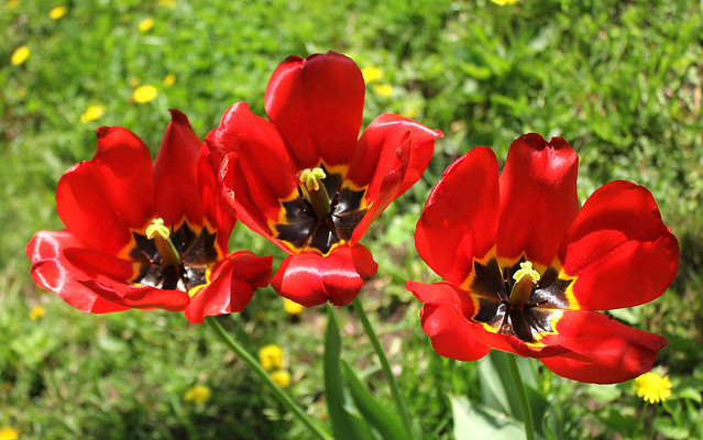Russian Federation, Nature of Moscow. Three brothers Red Tulips (Túlipa, Liliaceae) blossom,  smiling to pilgrims, near Cathedral Church of Saint Igor of Chernigov in Peredelkino, 7th Lazenki Street, New Moscow, Novo-Peredelkino district.