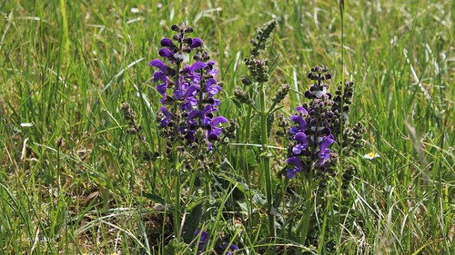 Salvia pratensis - sauge des prés  51184396626_8a7b6480f9