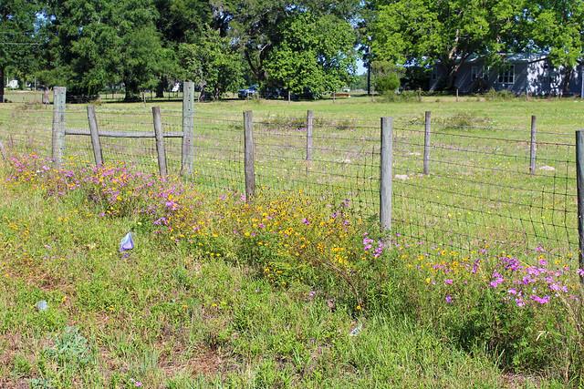 Wildflowers alongside Fence, near Williston