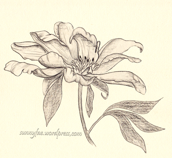 peony drawn with coloured pencil 1