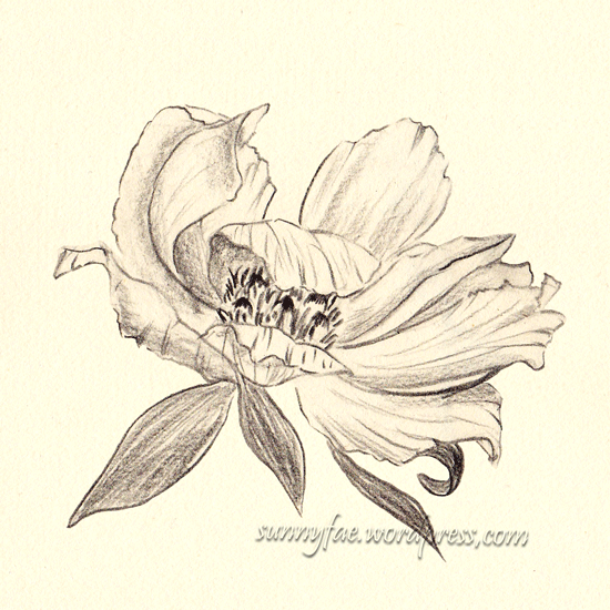 peony drawn with coloured pencil 3