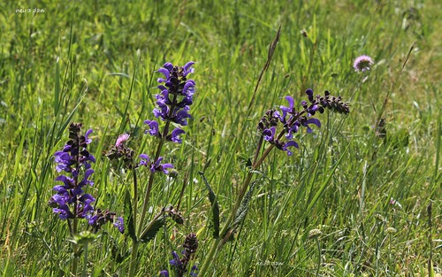 Salvia pratensis - sauge des prés  51184608493_87bcdee069