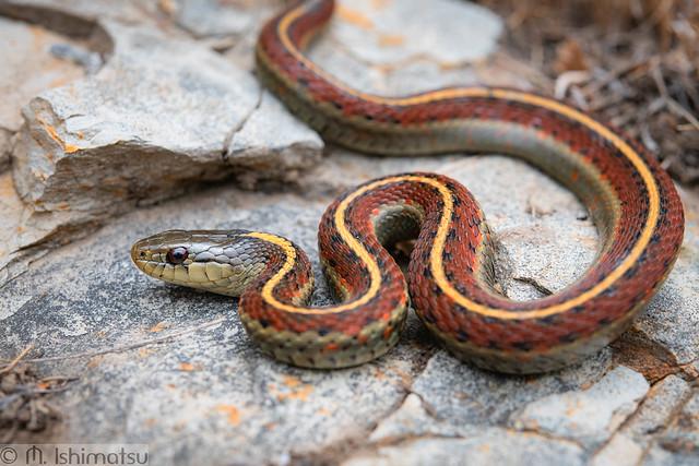 Coast gartersnake- Thamnophis elegans terrestris