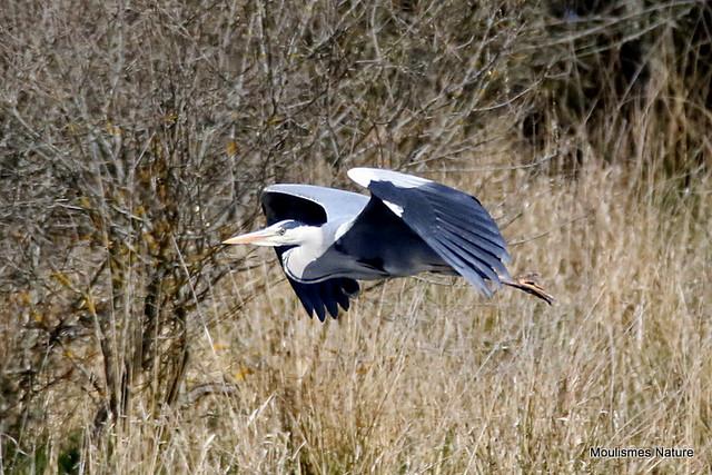 0S8A5386X. Grey Heron (Ardea cinerea) ad