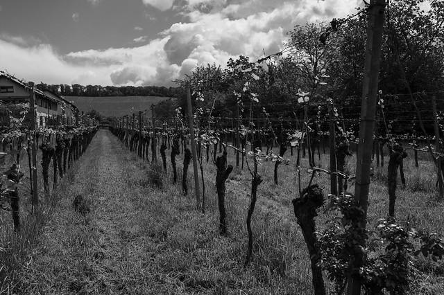 ordinary growing @ wine field