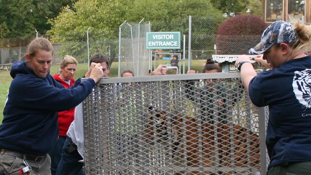 Rescue Efforts at Carolina Tiger Rescue