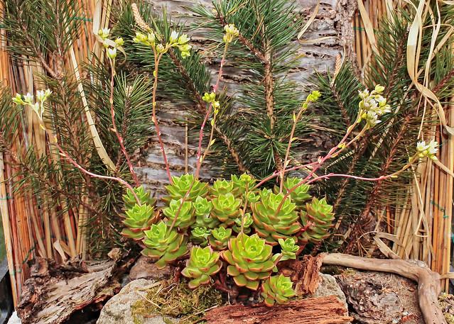 x Sedeveria ´Letizia´ 4072-1; Crassulaceae (1)