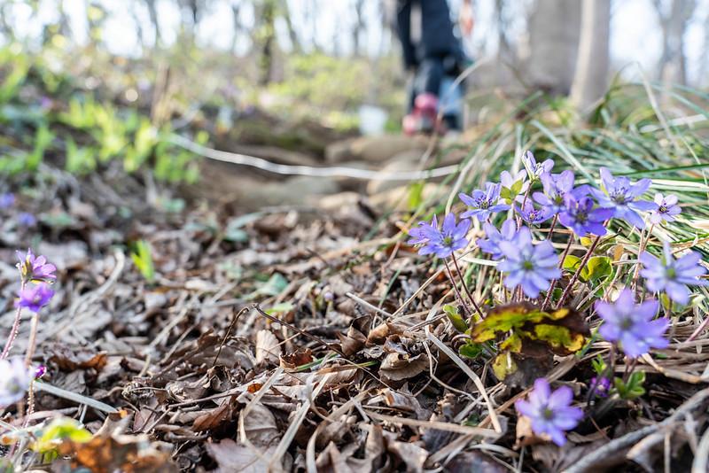雪割草の咲く角田山