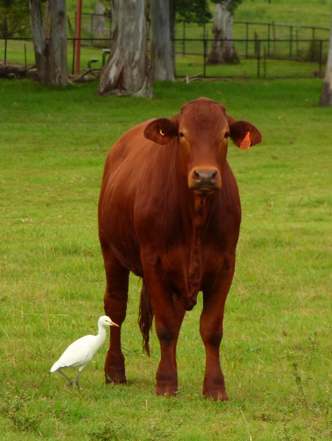 Best buddies, young steer with his Cattle Egret.