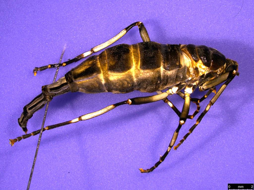 8a - Boreoides subulatus Hardy, 1920