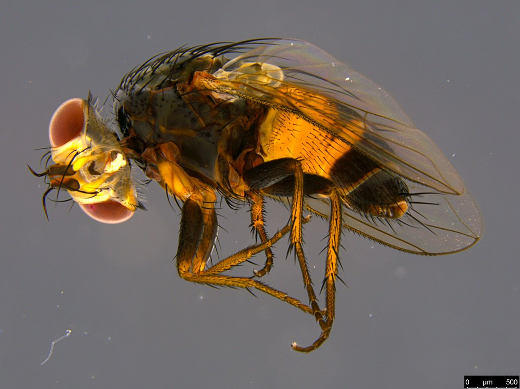 9a - Diptera sp.
