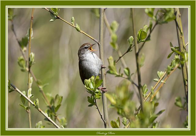 Cetti's warbler-Cettia cetti in full song. Spring
