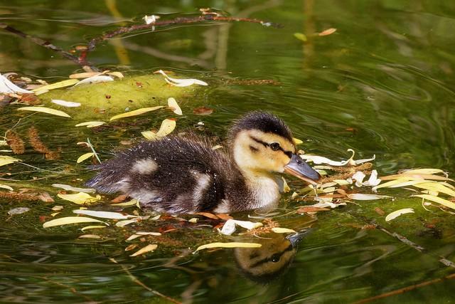 Entenküken / Ducklings