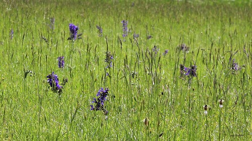 Salvia pratensis - sauge des prés  51185177239_5b2c60f425