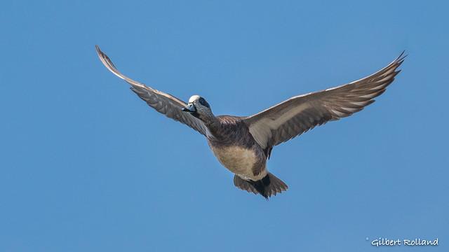 Canard d'Amérique - American Wigeon
