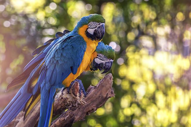 Arara Canindé | Blue n' Yellow Macaw | Ara ararauna