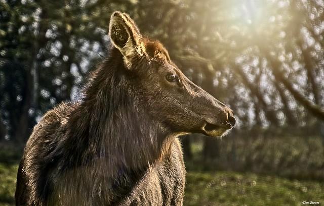'Lone Elk