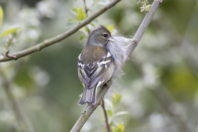 Chaffinch collecting