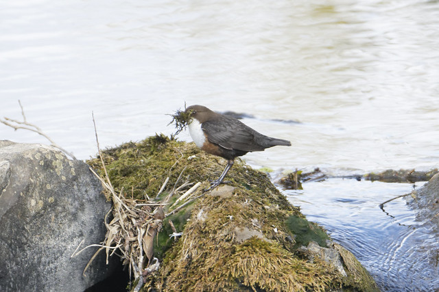 Dipper collecting