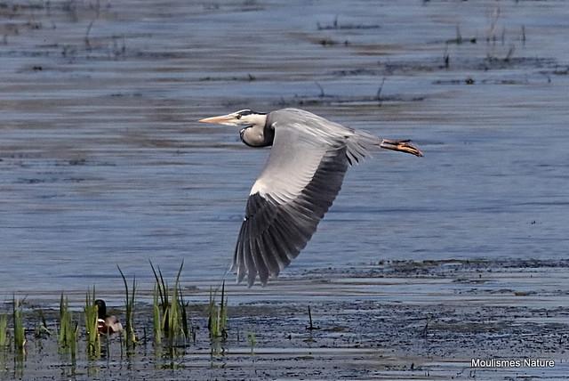 0S8A5384. Grey Heron (Ardea cinerea) ad