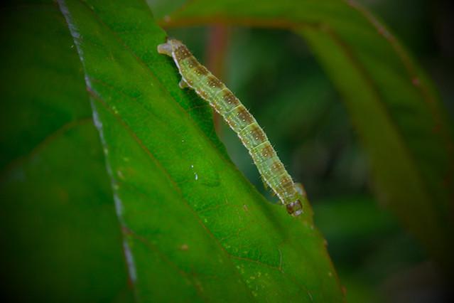 November moth caterpillar?