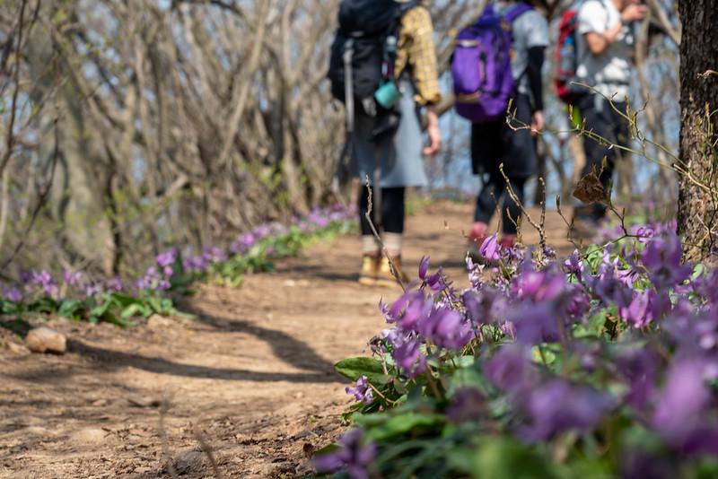 角田山の灯台コースのカタクリ