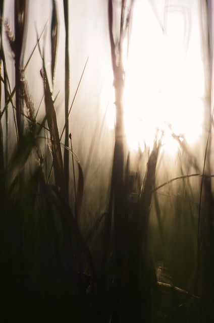 sunset, tall grass