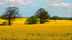 Rapeseed in bloom in Holstein