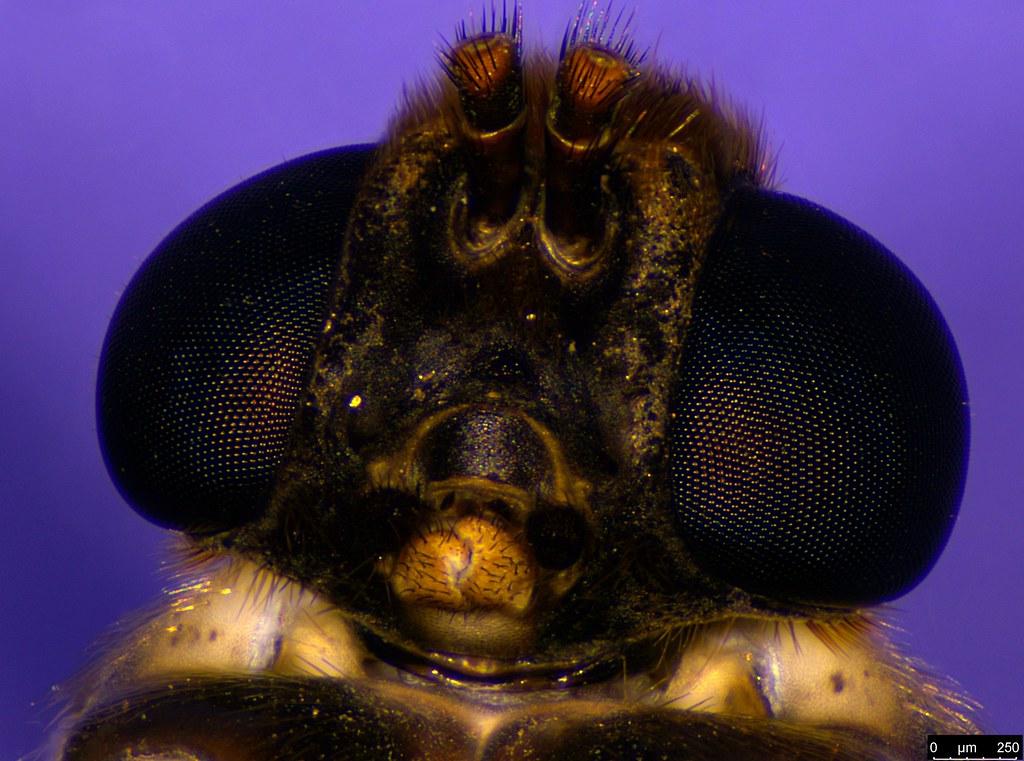 8e - Boreoides subulatus Hardy, 1920