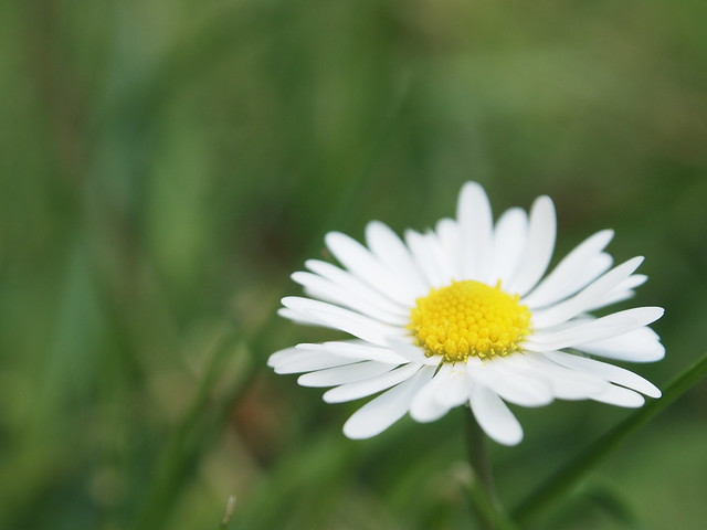 Gänseblümchen - Daisy