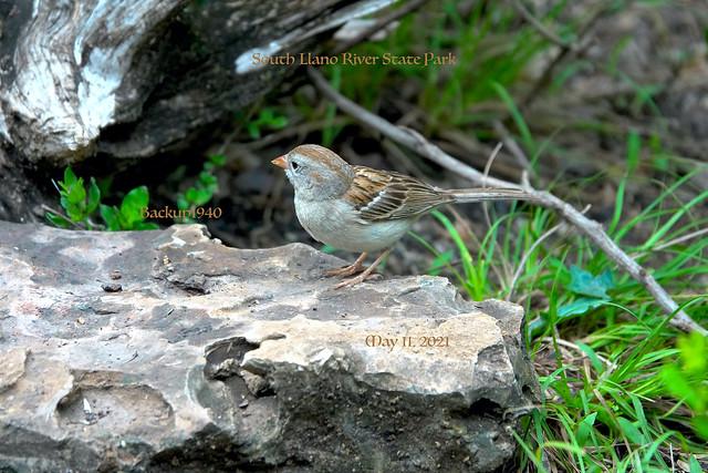 Texas Field Sparrow !