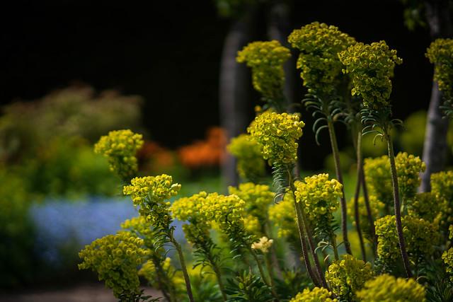 Euphorbia, Loseley Park