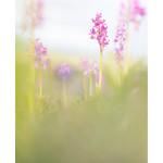Orchis x colemanii