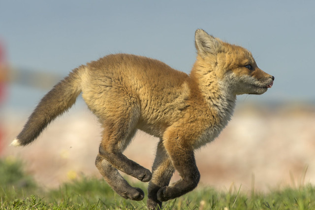 Red Fox Kit | Running Free