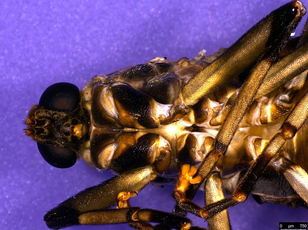 8c - Boreoides subulatus Hardy, 1920