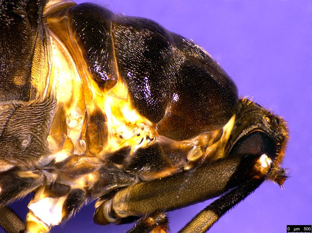8d - Boreoides subulatus Hardy, 1920