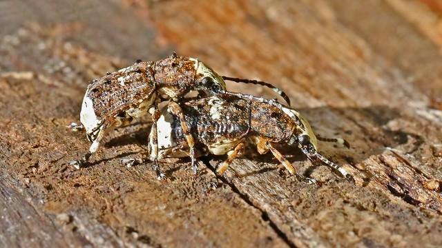 Scarce Fungus Weevil (Cramp-ball) - Platyrhinus resinosus (m & f)