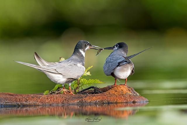 Trauerseeschwalbe / Black Tern / Chlidonias niger