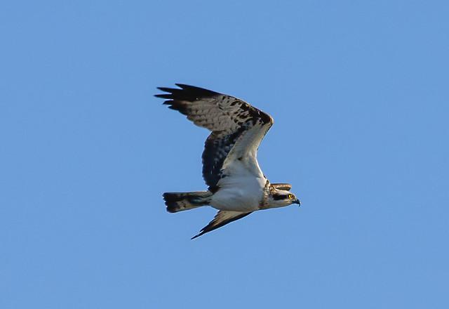 Osprey over Loch Fad