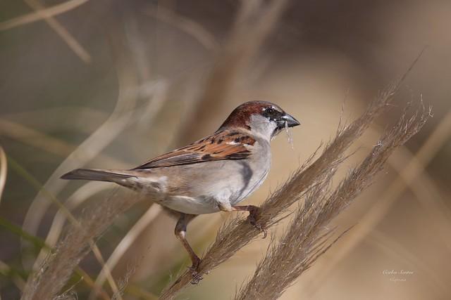 Pardal Comum (Passer Domesticus)