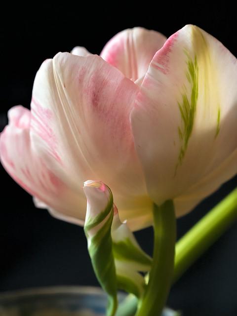 Finola Tulip  (20034)